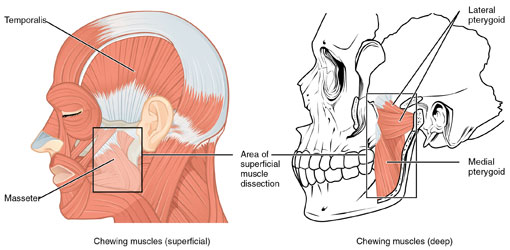 tmj-therapy-thornhill-dentist-illustration2